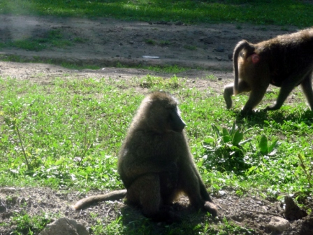 Local Baboons